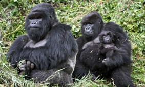 familia-de-gorilas